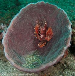 BD-090927-Lembeh-9274571-Dendrochirus-zebra-(Cuvier.-1829)-[Zebra-turkeyfish.-Zebradrakfisk].jpg